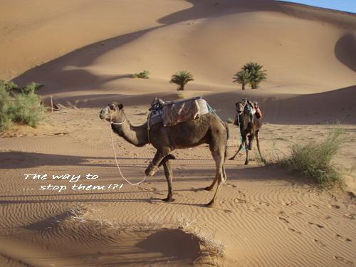 camelrun.jpg